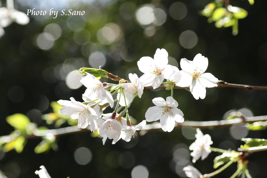 称名寺の桜_b0348205_22225187.jpg