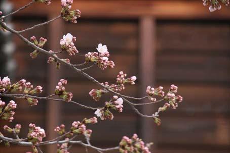 桜情報 4_f0014205_10543861.jpg
