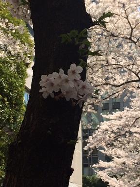 春の宵さくら横ちょう_a0155408_2338077.jpg