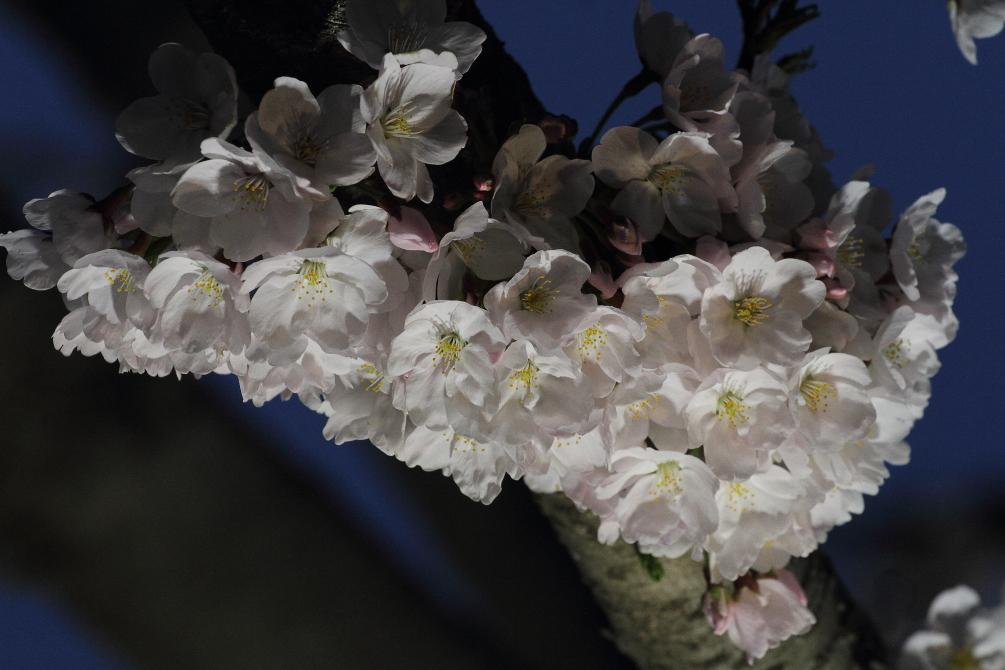 下から照らした夜桜_b0190710_23162528.jpg