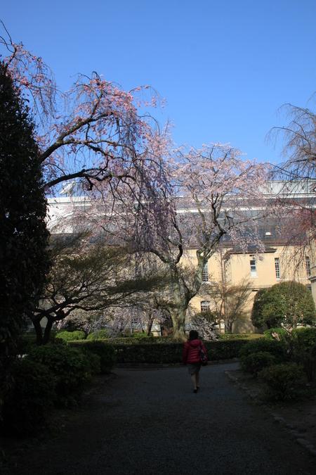 京都府庁 しだれ満開 2015.桜だより11_e0048413_20204796.jpg