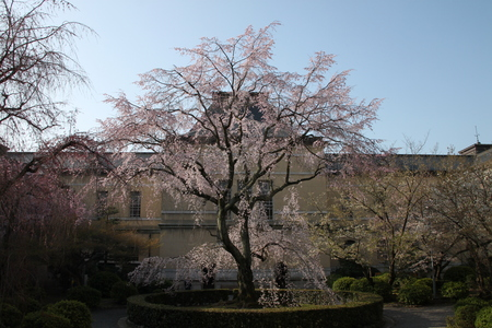 京都府庁 しだれ満開 2015.桜だより11_e0048413_20211040.jpg