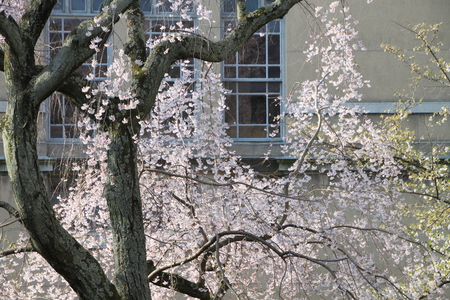 京都府庁 しだれ満開 2015.桜だより11_e0048413_20212665.jpg