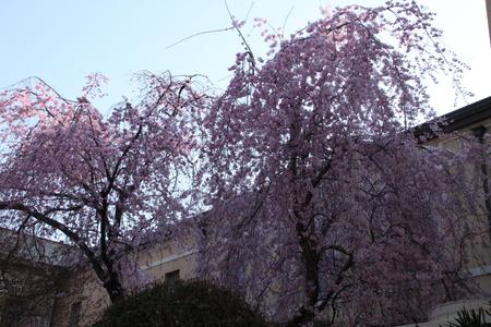 京都府庁 しだれ満開 2015.桜だより11_e0048413_20223113.jpg