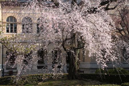 京都府庁 しだれ満開 2015.桜だより11_e0048413_2022988.jpg