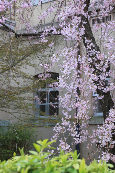 京都府庁 しだれ満開 2015.桜だより11_e0048413_2023157.jpg