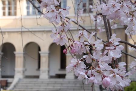 京都府庁 しだれ満開 2015.桜だより11_e0048413_20232662.jpg