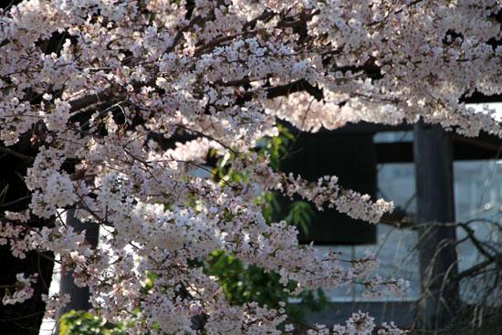 上品蓮台寺 2015桜たより12_e0048413_20462636.jpg