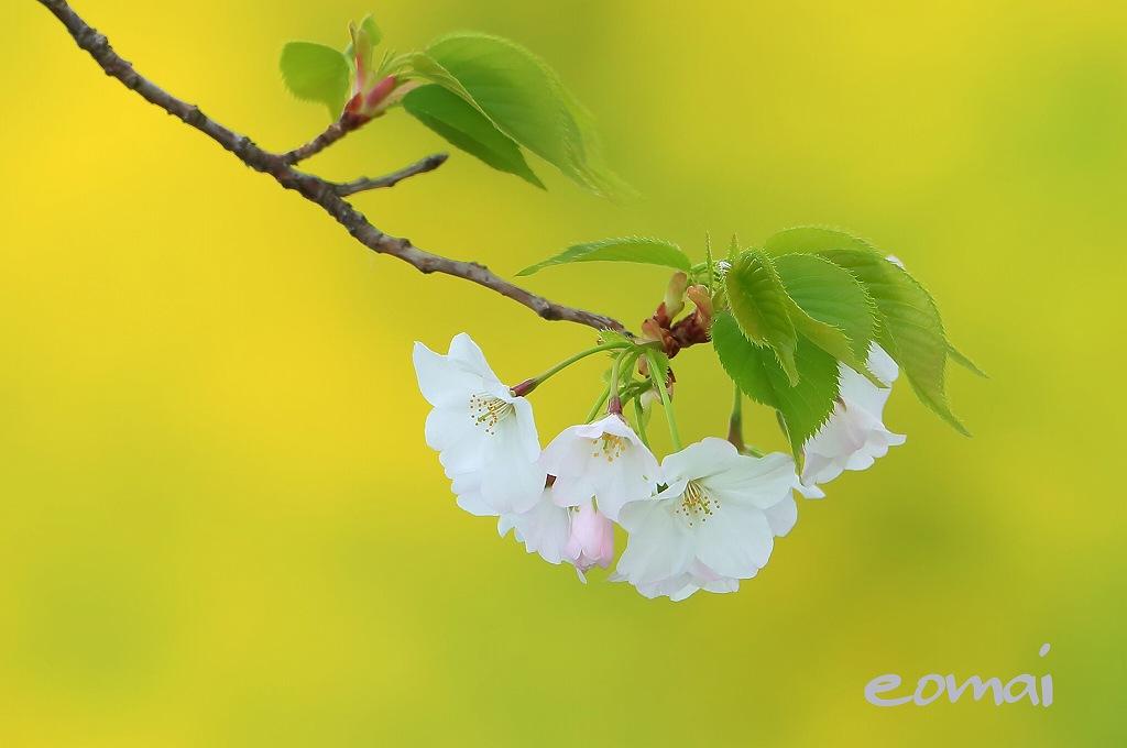 桜_d0074828_20235212.jpg