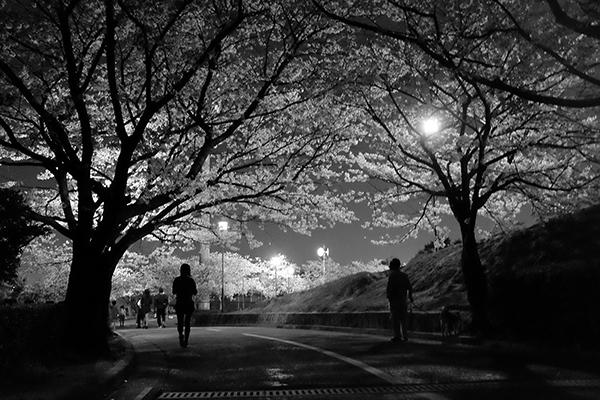 桜にあわば_a0097735_2281819.jpg