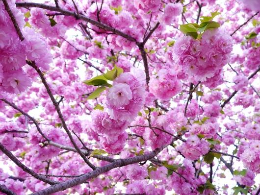 春色の香水創り 〜桜〜_b0168736_17162053.jpg