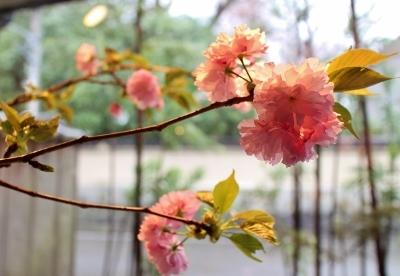 花だより 八重桜_a0279848_12051554.jpg