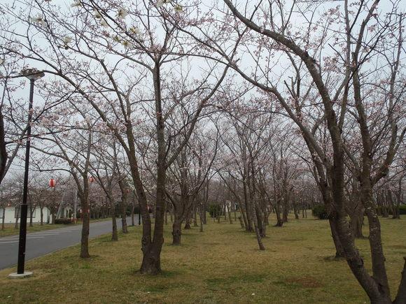 ●4月1日(水)かみす桜まつり会場開花状況●_f0229750_9295624.jpg