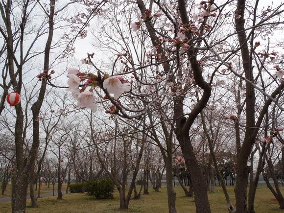 ●4月1日(水)かみす桜まつり会場開花状況●_f0229750_9311281.jpg
