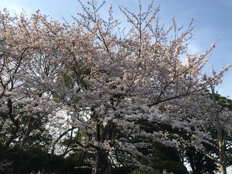 2015桜前線〜〜_c0131063_18555268.jpg