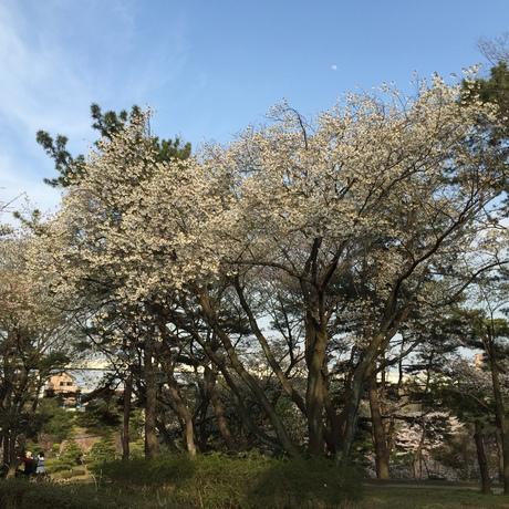 2015桜前線〜〜_c0131063_1924246.jpg