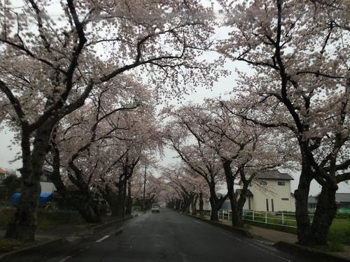 桜満開!_f0230767_9453213.jpg