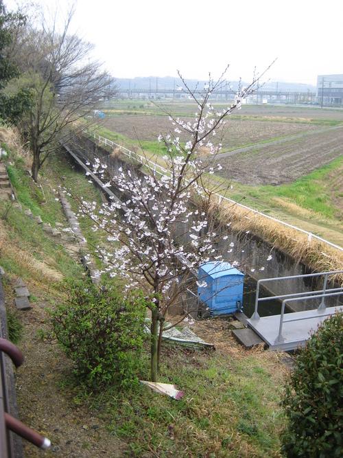 桜満開!_f0230767_9455174.jpg