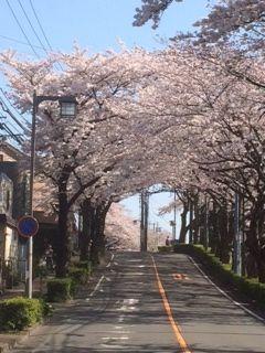 桜満開_f0204368_0291929.jpg