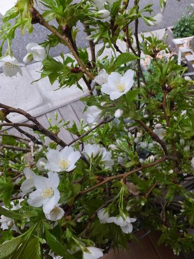 オークリーフ(空色と桜色)_f0049672_1873032.jpg