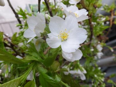 オークリーフ(空色と桜色)_f0049672_1873942.jpg