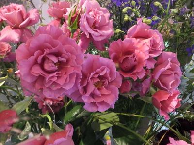 オークリーフ(空色と桜色)_f0049672_1874752.jpg