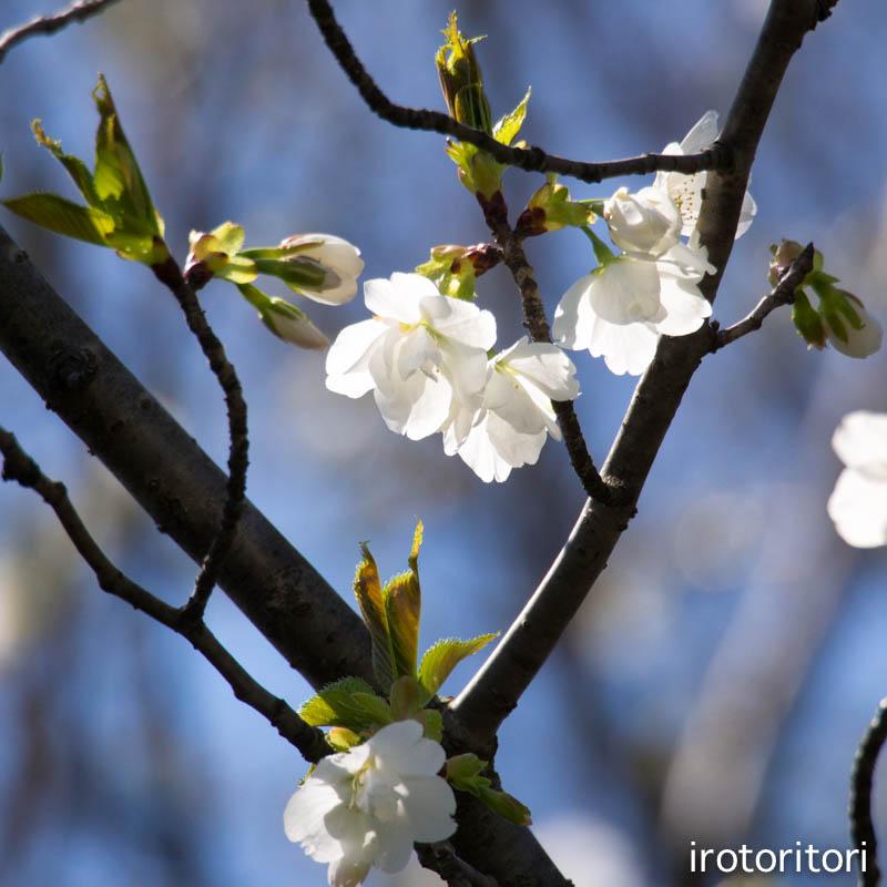 お花見  (アオゲラ)  2015/03/31_d0146592_23374419.jpg