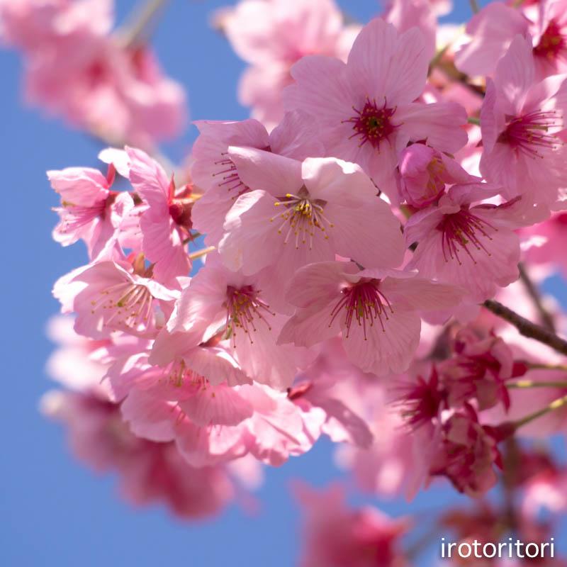お花見  (アオゲラ)  2015/03/31_d0146592_23375218.jpg