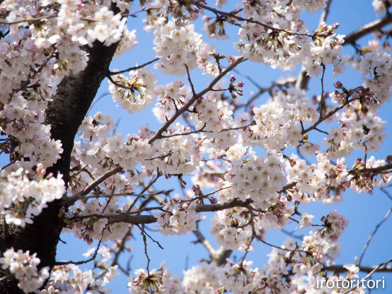 お花見  (アオゲラ)  2015/03/31_d0146592_23381784.jpg