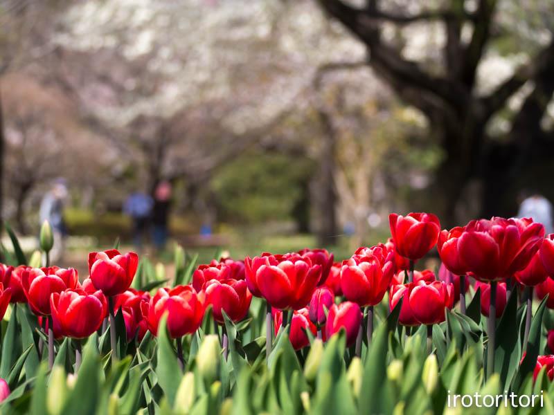 お花見  (アオゲラ)  2015/03/31_d0146592_2338631.jpg