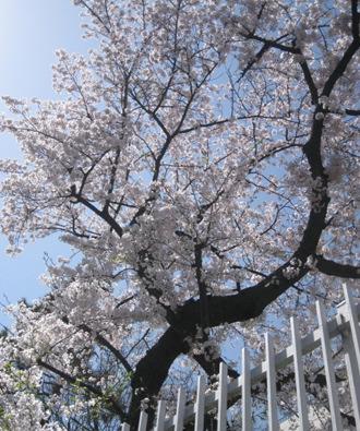 お花見日和_f0061394_1542492.jpg