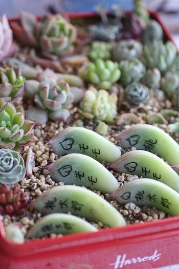 多肉の花と葉挿しなど。。_c0178104_09500443.jpg