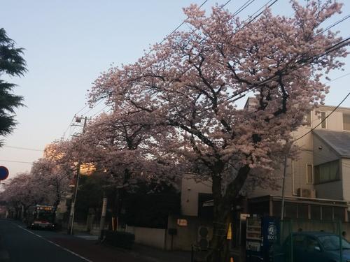 桜! 桜! 桜! in my neighborhood_e0123104_7225143.jpg