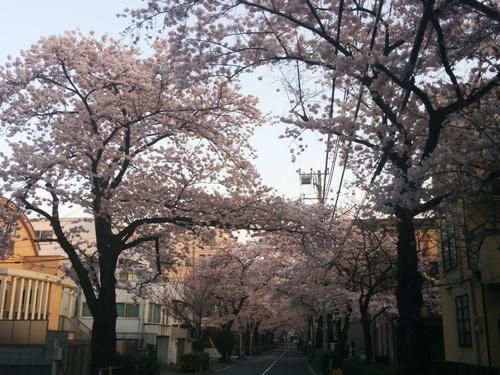 桜! 桜! 桜! in my neighborhood_e0123104_7293972.jpg
