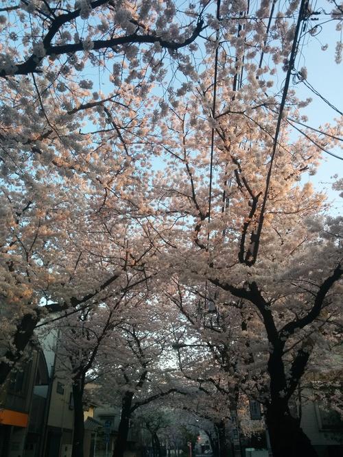 桜! 桜! 桜! in my neighborhood_e0123104_7304018.jpg
