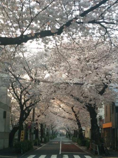 桜! 桜! 桜! in my neighborhood_e0123104_7311284.jpg