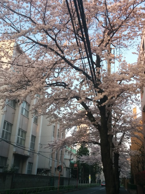 桜! 桜! 桜! in my neighborhood_e0123104_7322147.jpg