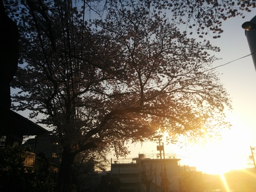 桜! 桜! 桜! in my neighborhood_e0123104_734573.jpg