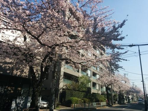 桜! 桜! 桜! in my neighborhood_e0123104_734599.jpg