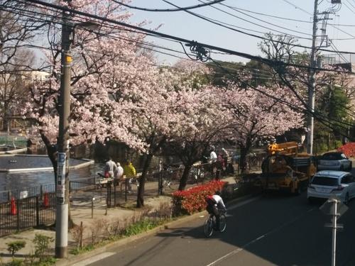 桜! 桜! 桜! in my neighborhood_e0123104_7355729.jpg