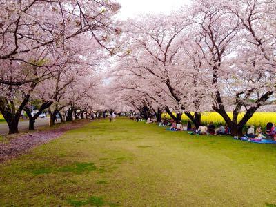 桜_a0300410_21335675.jpg