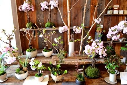 盆栽教室「春楽桜花」展 ありがとうございました_d0263815_16205935.jpg