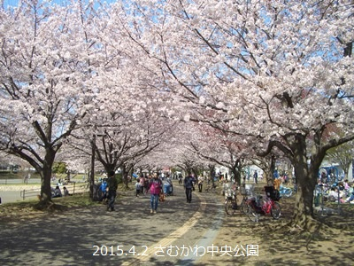 寒川町 桜 開花状況 2015年 春_d0240916_14351229.jpg