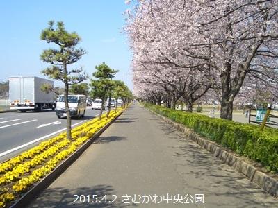 寒川町 桜 開花状況 2015年 春_d0240916_14353216.jpg