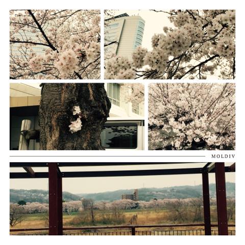 桜・桜・・・_d0049817_10194192.jpg