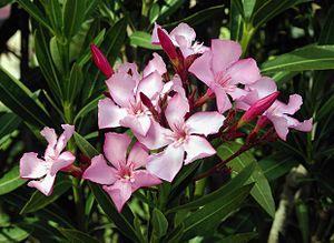 有毒な植物にご用心!(3) Giftpflanzen_d0144726_84445.jpg