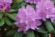有毒な植物にご用心!(3) Giftpflanzen_d0144726_861472.jpg