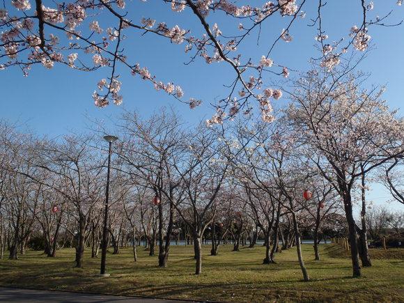 ●4月2日(木)かみす桜まつり会場開花状況●_f0229750_9343996.jpg