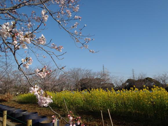 ●4月2日(木)かみす桜まつり会場開花状況●_f0229750_9352029.jpg