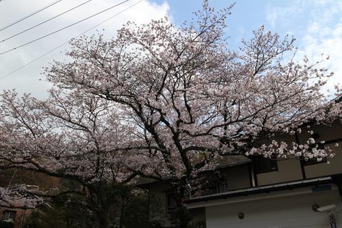 桜実況中継_c0078659_1522597.jpg